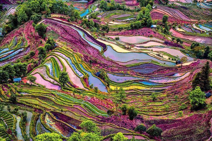 مزارع برنج 1