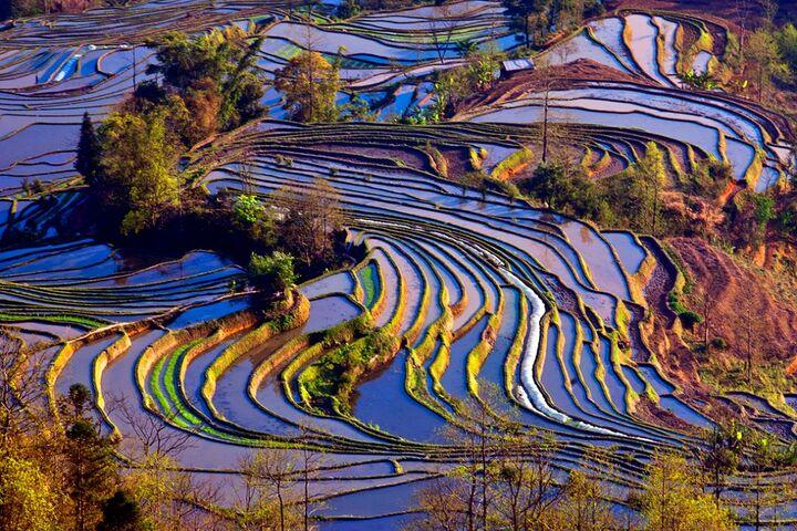 مزارع برنج 4