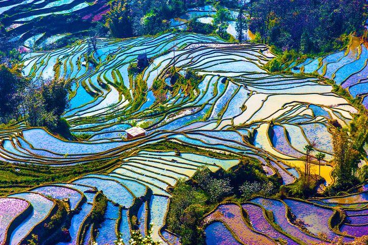 مزارع برنج 9