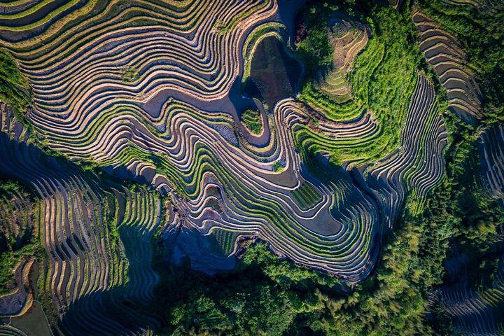 مزارع برنج 11