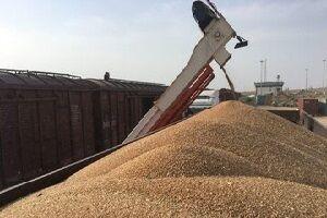 ۵۰ هزار تن گندم و کلزا در مازندران خریداری شد