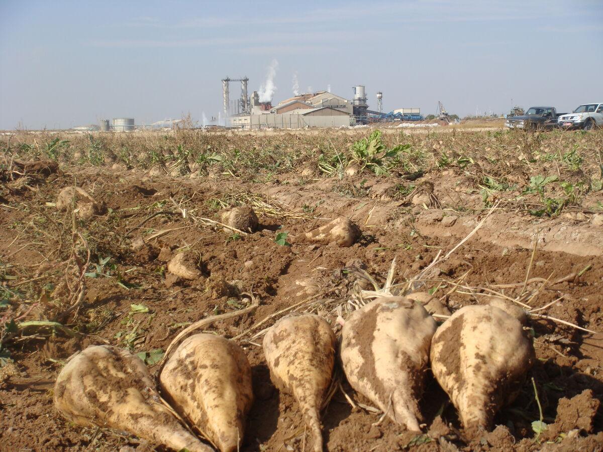 ۵۰ هزار تن چغندر قند در مزارع کشاورزی استان قزوین تولید شد