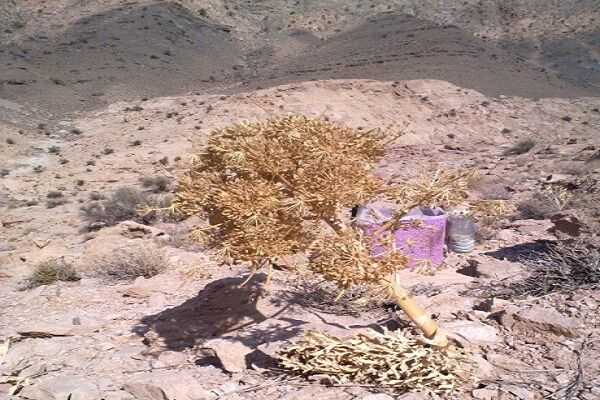 خشکسالی درآمد ۷۰ میلیاردی آنغوزه را بلعید