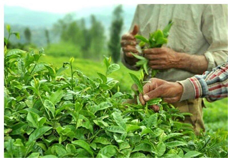 تولید برگ سبز چای در گیلان به ۱۳۰ هزار تن رسید