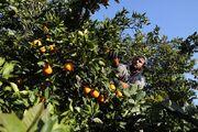 پایان برداشت مرکبات با تولید ۱۹۰ هزار تن پرتقال در گیلان