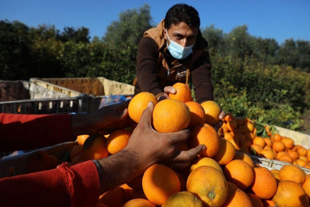 مازندران ۲۱ هزار تن پرتقال شب عید کشور را تامین می کند
