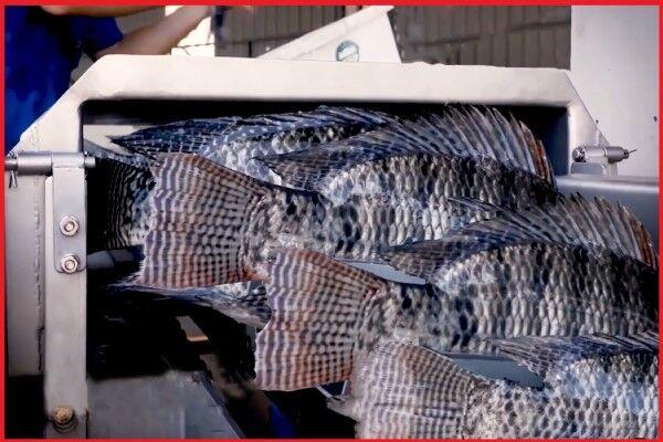 هرآنچه که لازم است در مورد پرورش ماهی تیلاپیا بدانید