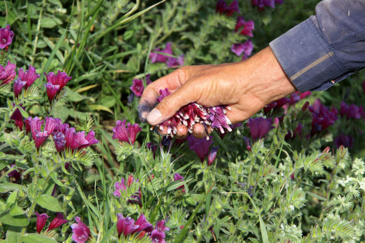 اقتصاد ناشناخته گیاهان دارویی در مازندران| پای خارجی ها به طبیعت باز شد