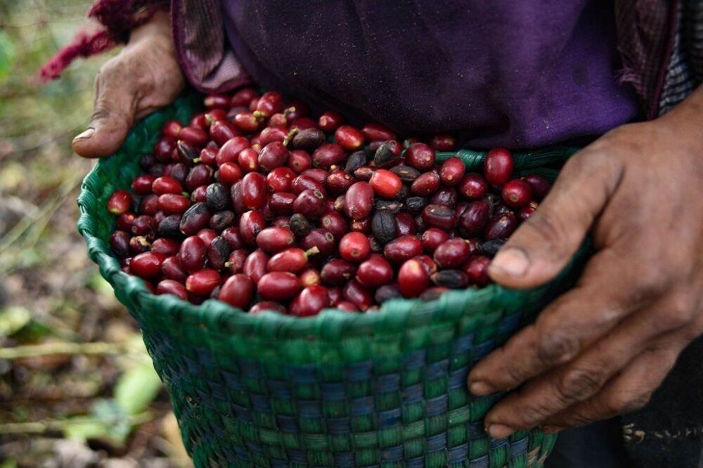 برداشت قهوه در مکزیک