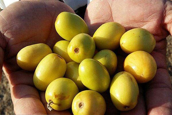 پنج هزار تن میوه گرمسیری «کُنار» در سیستان و بلوچستان برداشت شد