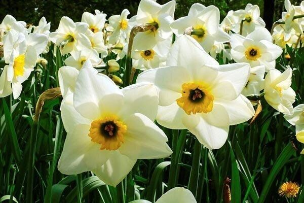 ۴ میلیون شاخه گل نرگس در پلدختر برداشت میشود
