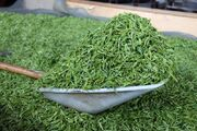 گردش مالی ۵۰ هزار میلیارد ریالی صنعت چای در گیلان