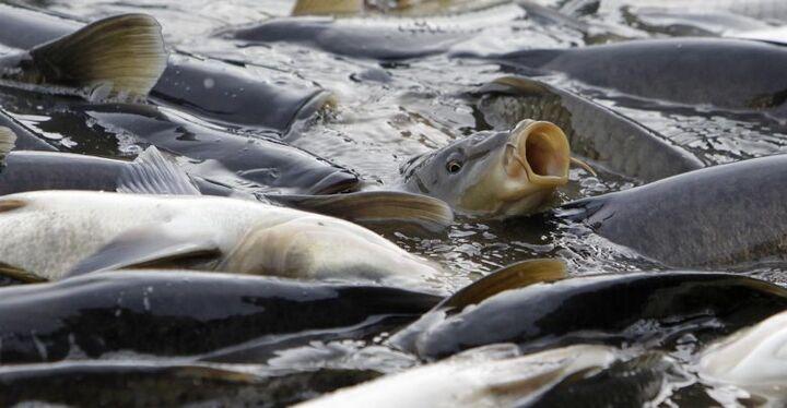 سرانه مصرف ماهی در مازندران ۱۴ کیلوگرم است