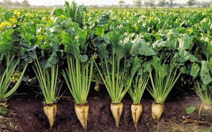 هدفگذاری برای کسب سهم ۵۰ درصدی بازار داخلی بذر چغندرقند با ارقام ایرانی