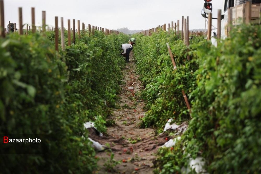 اقدامات بهداشتی کرونایی کشاورزان فلورید برای کارگران
