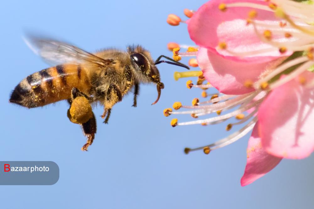 زنبورهای گرده افشان به کمک اقتصاد کهگیلویه و بویراحمد می آیند؛ دانشی که تجاریسازی شد