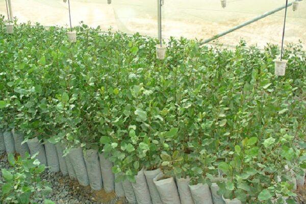 تولید ۳۰ هزار نهال گواهی شده گردو در استان همدان