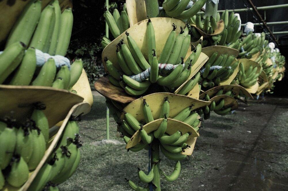 برداشت موز در مکزیک و آغاز صادرات به چین