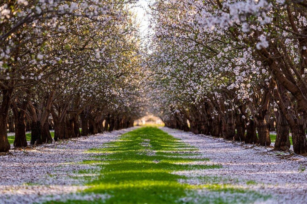 فصل شکوفه و گرده افشانی بادام در کالیفرنیا