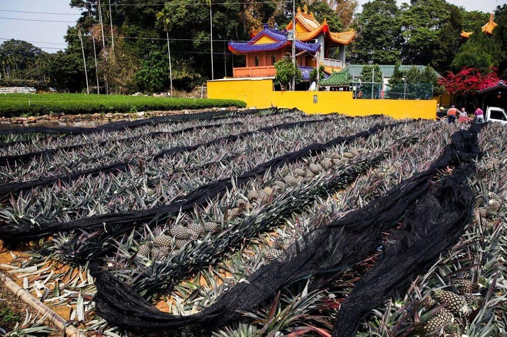 برداشت آناناس در تایوان