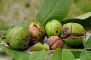 سرمازدگی موجب  کاهش تولید محصولات باغی در چهارمحال و بختیاری شد