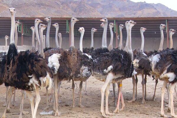 صدور مجوز فعالیت ۲۴ واحد پرورش شترمرغ در استان همدان