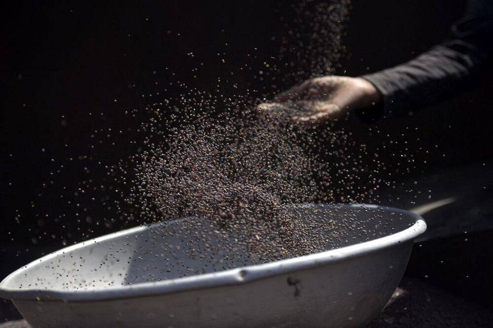 برداشت گندم در هند