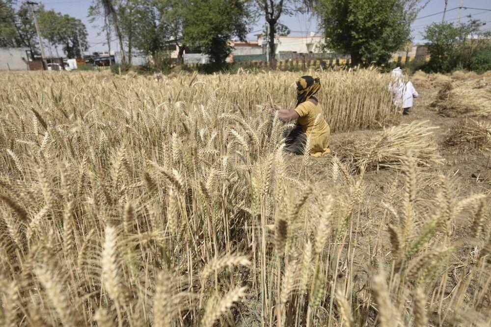 قیمت فعلی گندم به تولید ضربه می زند