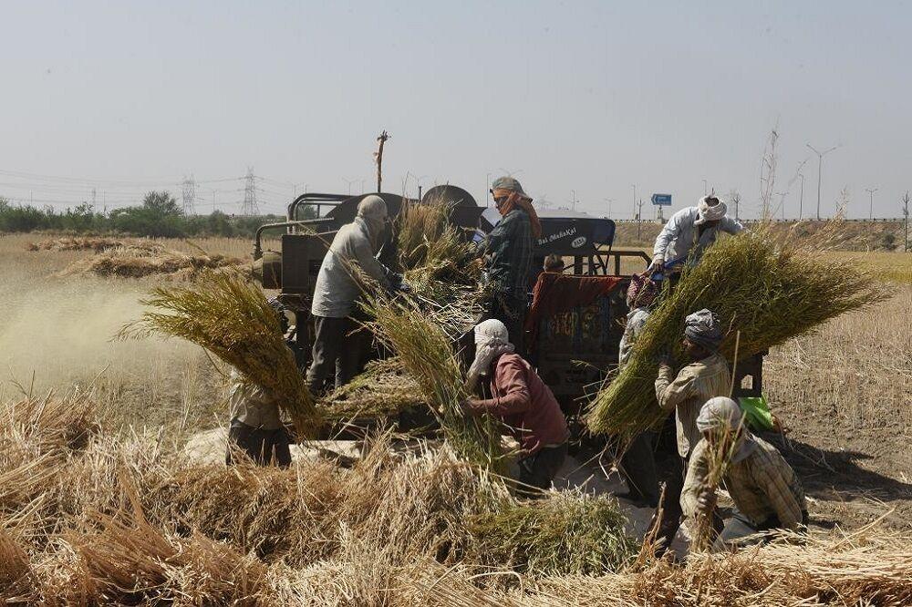 بی تدبیری به قاچاق گندم دامن زد  گلایه شدید کشاورزان کرمانی از قیمت گذاری
