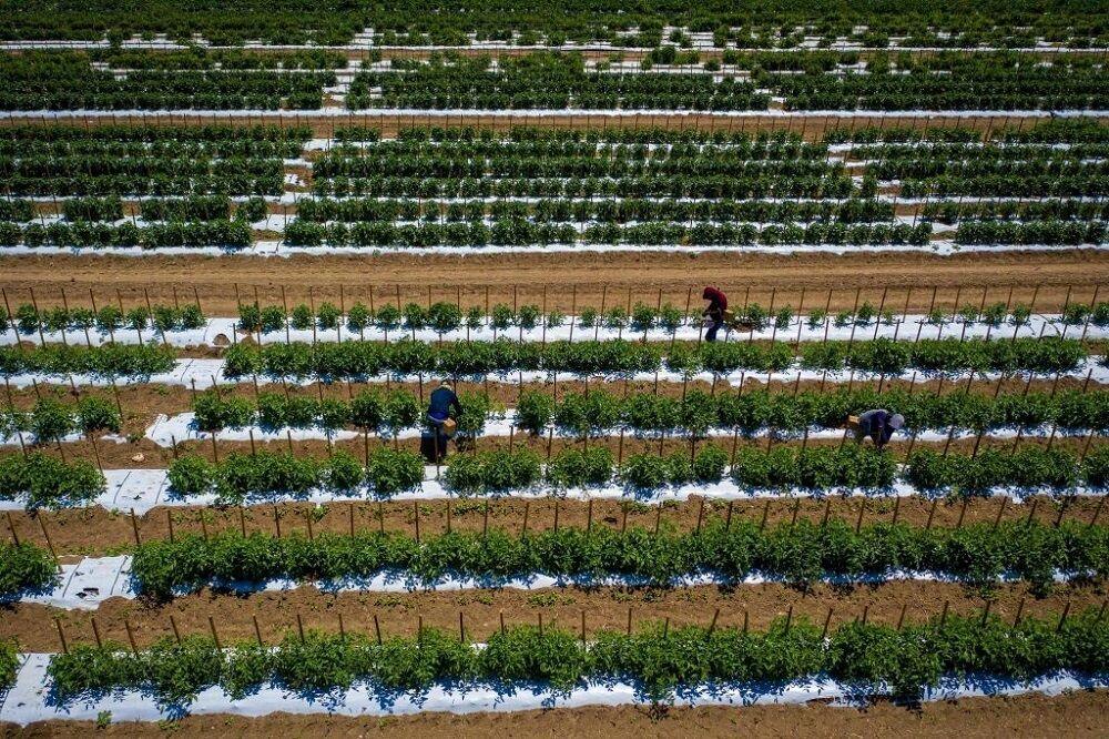 اراده استان یزد برای تولید علوفه و بذر