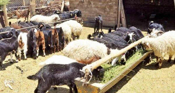 ورود دلالان به نهادههای دامی عشایر ایلام/ وقتی «کاه» هم قاچاق میشود