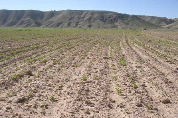 کمبود بارندگی و گرمازدگی سبب خسارت ۳۰ درصدی به مزارع گندم در لرستان شد