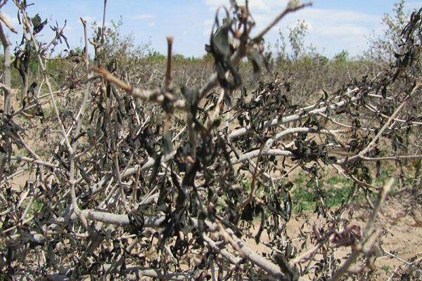 «سرما» اقتصاد باغداران همدان را به لرزه انداخت/ ثبت ۲۰۴ میلیارد تومان خسارت در بخش کشاورزی