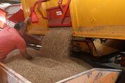 تولید ۲۱ هزار تن بذر گندم در ایلام