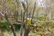 جوانسازی درختان گردو در همدان ۴ ساله شد  تداوم اجرای موفق طرح سرشاخهکاری