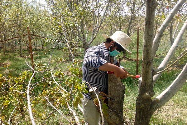 اجرای ۷۰ هزار سرشاخه کاری باغات گردو در استان همدان