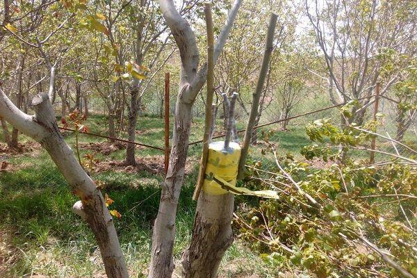 دستیابی به درختانی با محصولات پُربار با روش سرشاخه کاری