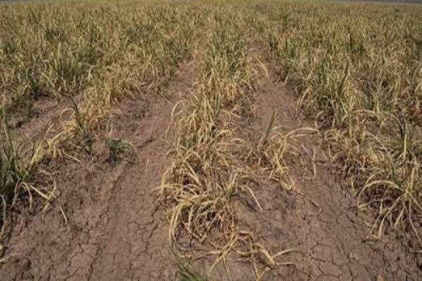 خشکسالی به ۵۰ درصد مزارع کشاورزی لرستان خسارت وارد کرد