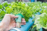کشت علوفه هیدروپونیک راهکار عبور از خشکسالی؛ کشاورزی نوین و کاهش مصرف آب