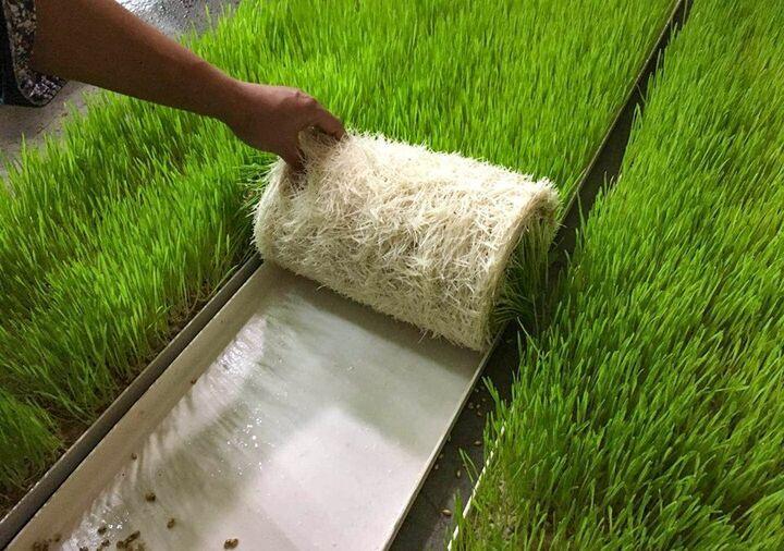 آب مصرفی در پرورش سنتی علوفه ۲۵ برابر روش هیدروپونیک| مواد مغذی بیشتر و سرعت بالا در رشد بذرها