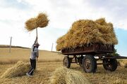 پیشبینی برداشت ۲۹۷ هزار تن گندم در خراسان شمالی