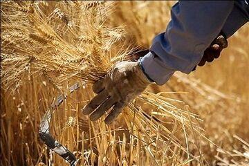 چالش خشکسالی پیش روی گندمکاران همدانی| کاهش بارندگی کشاورزی را تهدید میکند