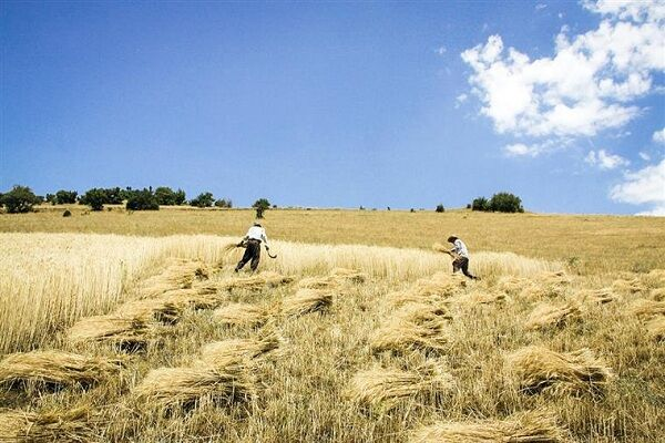 تولید ۱۰ رقم گندم کیفی در مازندران