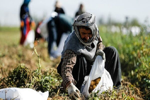 اجرای یک هزار هکتار کشت قراردادی محصولات کشاورزی در همدان