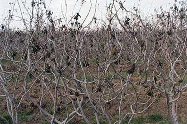 دشت رفسنجان بی آب تر از همیشه؛ صنعت پسته در معرض نابودی قرار گرفت