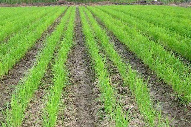 شالیزارها استرس گرفتند؛ کشت دوم برنج ممنوع