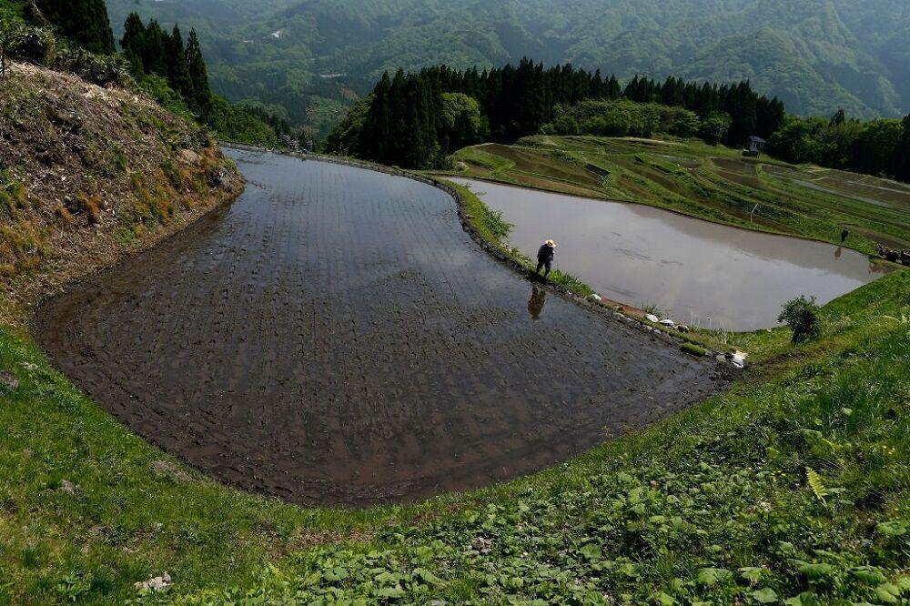 آغاز کاشت برنج در ژاپن با وجود شیوع مجدد کرونا