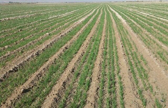 پیش بینی افزایش ۱۰ درصدی تولید گندم در خراسان شمالی