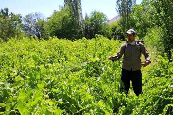 باغداران خراسان شمالی بر سمپاشی باغهای انگور علیه بیماری سفیدک اقدام کنند