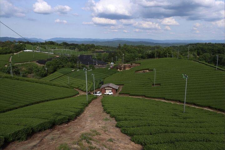 چای سبز 1